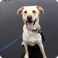 Labrador Retriever Mix Dog for adoption in East Hartford, Connecticut - Cooper