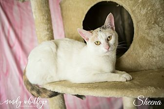 Calico Cat for adoption in Columbia, Tennessee - Sheena