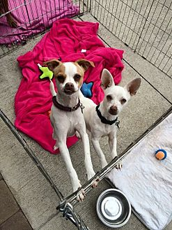 Chihuahua/Rat Terrier Mix Dog for adoption in Acworth, Georgia - Beetle