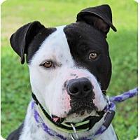 Adopt A Pet :: BOSCO/Neutered/Chipped - Red Bluff, CA