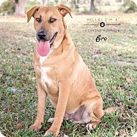 Adopt A Pet :: Bro - Houston, TX