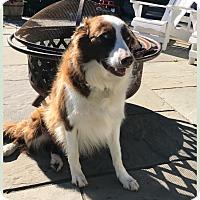 Adopt A Pet :: Storm - Goldens Bridge, NY