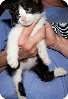 American Shorthair Kitten for adoption in New Egypt, New Jersey - Batman
