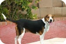 Beagle Mix Dog for adoption in Phoenix, Arizona - Tucker Brown