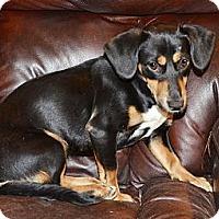 Adopt A Pet :: Kindle - Brattleboro, VT
