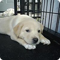 Adopt A Pet :: Lars - Westminster, MD