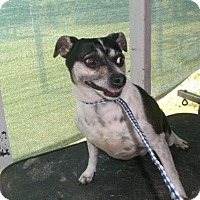 Jack Russell Terrier Dog for adoption in Bonifay, Florida - Baby