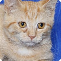 Domestic Shorthair Kitten for adoption in Gloucester, Virginia - PAPRIKA