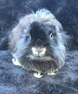 Lionhead Mix for adoption in Watauga, Texas - Grier
