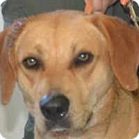 Labrador Retriever Mix Dog for adoption in Loxahatchee, Florida - Kronos