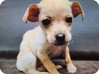 Chihuahua Puppy for adoption in New York, New York - Finley