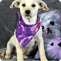 Adopt A Pet :: Ava - Palmyra, PA