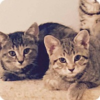 Domestic Shorthair Cat for adoption in THORNHILL, Ontario - Zara (left)