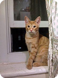 Domestic Shorthair Cat for adoption in Toronto, Ontario - Dash
