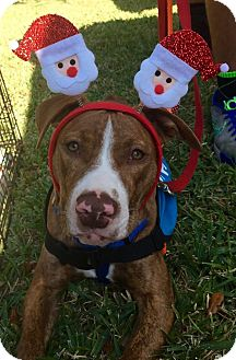 Pit Bull Terrier/Hound (Unknown Type) Mix Puppy for adoption in Holmes Beach, Florida - Big Red