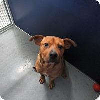 Adopt A Pet :: Harriel (HW Pos)* - Henderson, NC