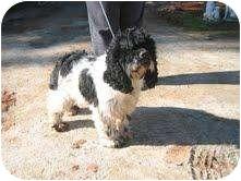Cocker Spaniel Dog for adoption in Tacoma, Washington - Gus