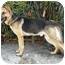 Photo 3 - German Shepherd Dog Dog for adoption in Los Angeles, California - Monty von Montoya