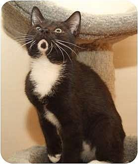 Domestic Shorthair Kitten for adoption in Winston-Salem, North Carolina - Bud