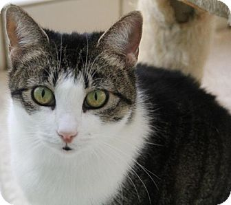 Domestic Shorthair Cat for adoption in Van Nuys, California - Dahlia