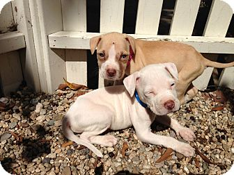 Pit Bull Terrier Mix Puppy for adoption in Katy, Texas - Smith