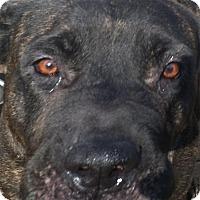 Adopt A Pet :: Brandy - Pompton lakes, NJ