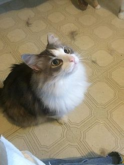 Domestic Mediumhair Cat for adoption in Clarkson, Kentucky - Fuzz