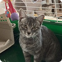 Adopt A Pet :: Young gray cat tiger Male - Manasquan, NJ