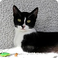 Adopt A Pet :: I'M DELILAH, THE MARDI-GRAS KITTY! - jacksonville, FL