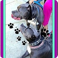 Adopt A Pet :: Bonded Bully Pair - Rancho Cucamonga, CA