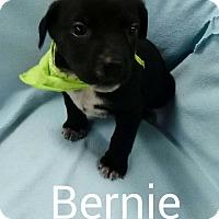 Adopt A Pet :: Bernie - Albany, NY