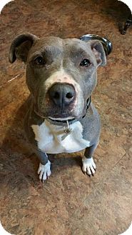 Pit Bull Terrier Dog for adoption in Berea, Ohio - Rogue