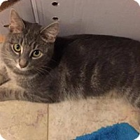 American Shorthair Cat for adoption in Palatine/Kildeer/Buffalo Grove, Illinois - Olivia