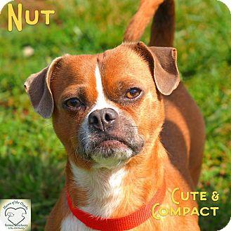 Pug/Dachshund Mix Dog for adoption in Washburn, Missouri - Nut