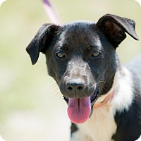 Rat Terrier/Italian Greyhound Mix Puppy for adoption in Irvine, California - Minnie