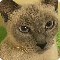 Siamese Cat for adoption in Irwin, Pennsylvania - Sasha
