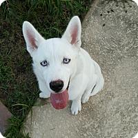 Adopt A Pet :: Ari - Clay, AL