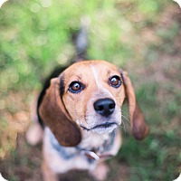 Adopt A Pet :: Ripley - Richmond, VA