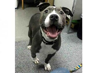Pit Bull Terrier Puppy for adoption in San Francisco, California - GRACIE