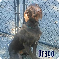 Adopt A Pet :: Drago - House Springs, MO