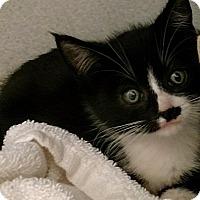 Adopt A Pet :: 165519A - Shoreline, WA