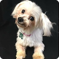 Adopt A Pet :: Georgette - La Verne, CA