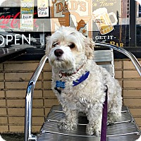 Havanese/Poodle (Miniature) Mix Dog for adoption in Redondo Beach, California - Jake is well behaved!
