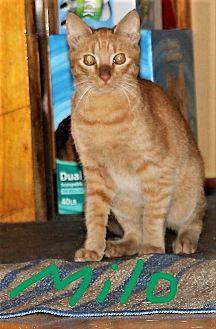 Domestic Shorthair Cat for adoption in Jesup, Georgia - Milo