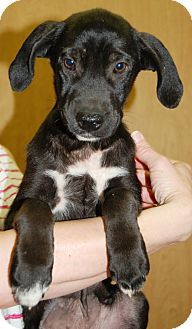Labrador Retriever Mix Puppy for adoption in Harrisonburg, Virginia - Twinkletoes