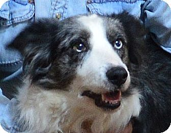 "Border Collie Dog for adoption in Minerva, Ohio - Angel""Sponsors Needed"""