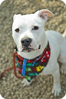 Pit Bull Terrier Mix Dog for adoption in Hillsborough, New Jersey - Spartacus