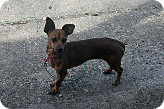 Chihuahua/Dachshund Mix Dog for adoption in Grand Rapids, Michigan - Daisy