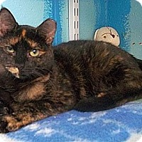 Domestic Shorthair Cat for adoption in Huntington, New York - Odette