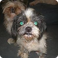 Adopt A Pet :: Pan'Ze - Apex, NC